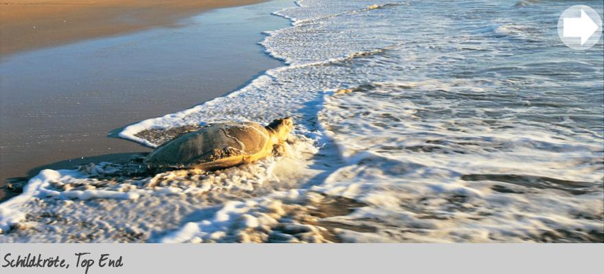Schilkröte