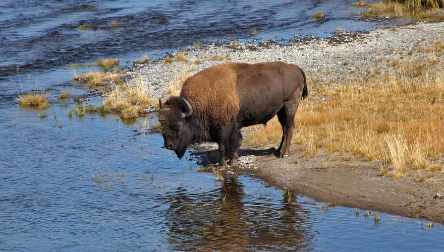 Büffel im Yellostone Natinalpark