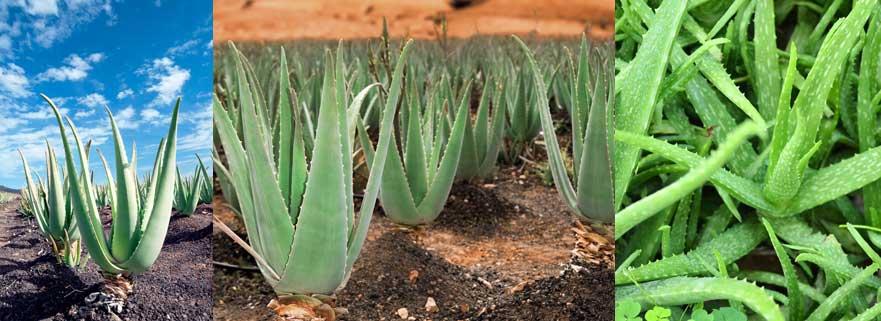 Aloe Vera Heilpflanze