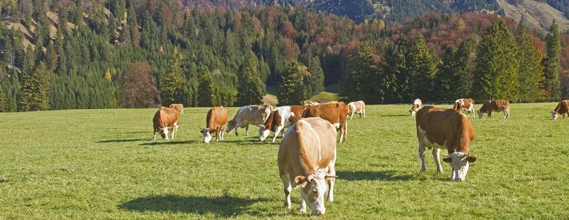 Das Allgäu lebt von der Milchwirtschaft