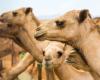 Kamele in der Wüste Dubai