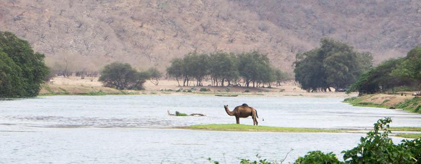 Kamel in den Bergen des Oman