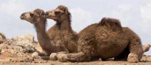 Kamele in der Wueste von Salalah