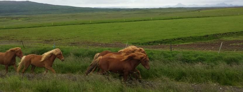 Reiten im Urlaub: zum Beispiel auf Islandpferden