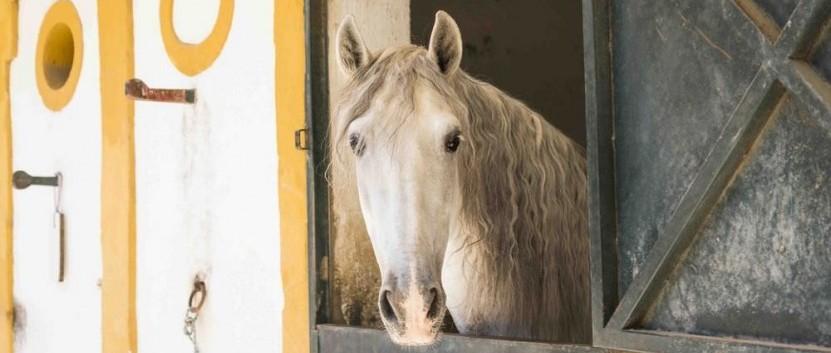 Feurig, edel, kraftvoll: Die Pferde in Andalusien