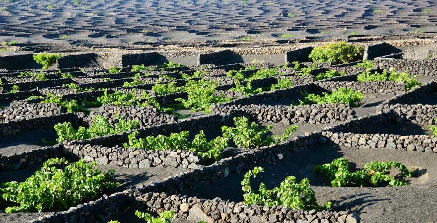 Weinanbau Lanzarote