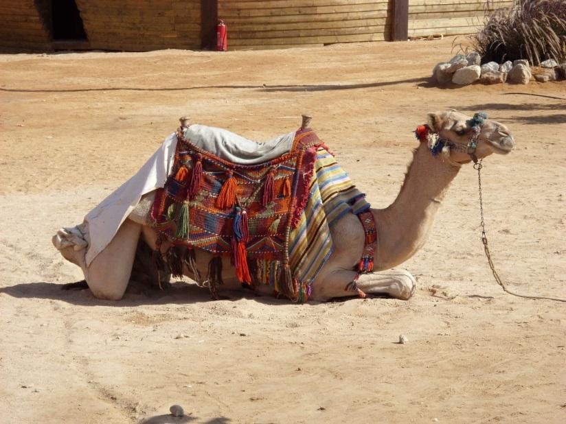 Kamele in Hurghada