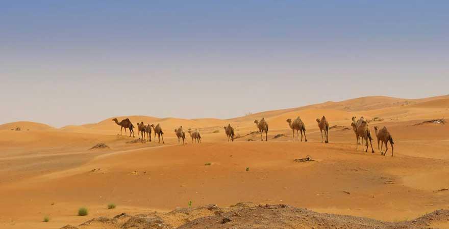 Kamele in der Wüste in den vae