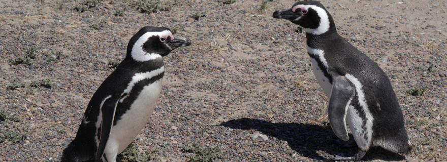 Kap Hoorn Pinguine