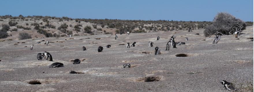 Pinguine Punto Tombo