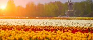 Tulenfeld in Holland