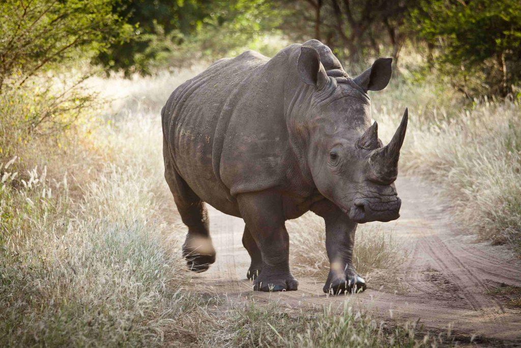 Nashorn-Nationalpark-Senegal-Urlaub-Afrika
