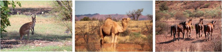 Tierwelt australisches Outback