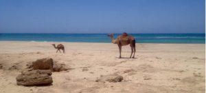 Dromedar in Salalah