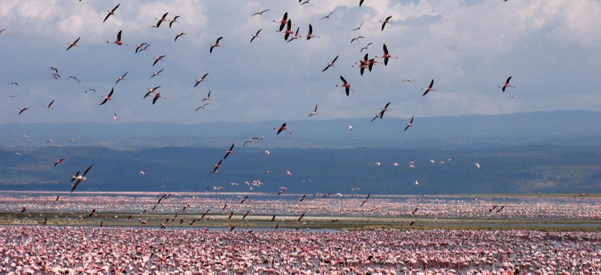 Flamingos Kenia
