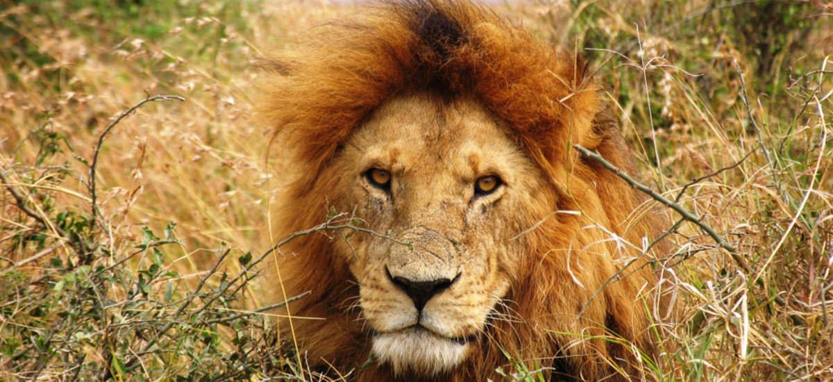 Löwe in Kenia
