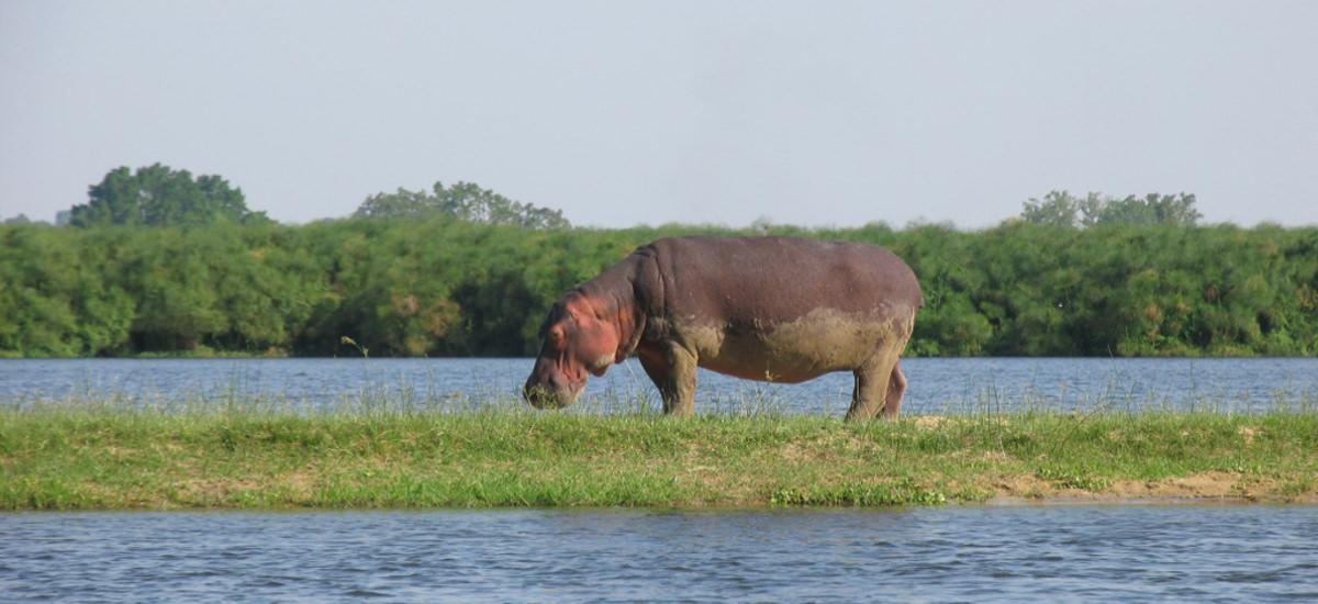 Kenia - Nilpferd