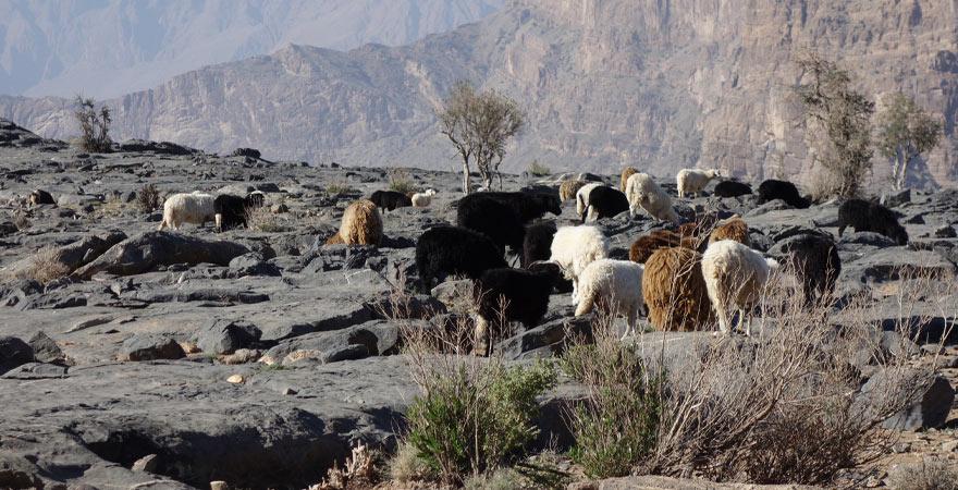 Ziegen am Gran Canyon im Oman