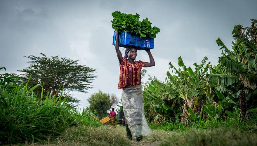 gemüseanbau in kenia, kleine landwirtschaf