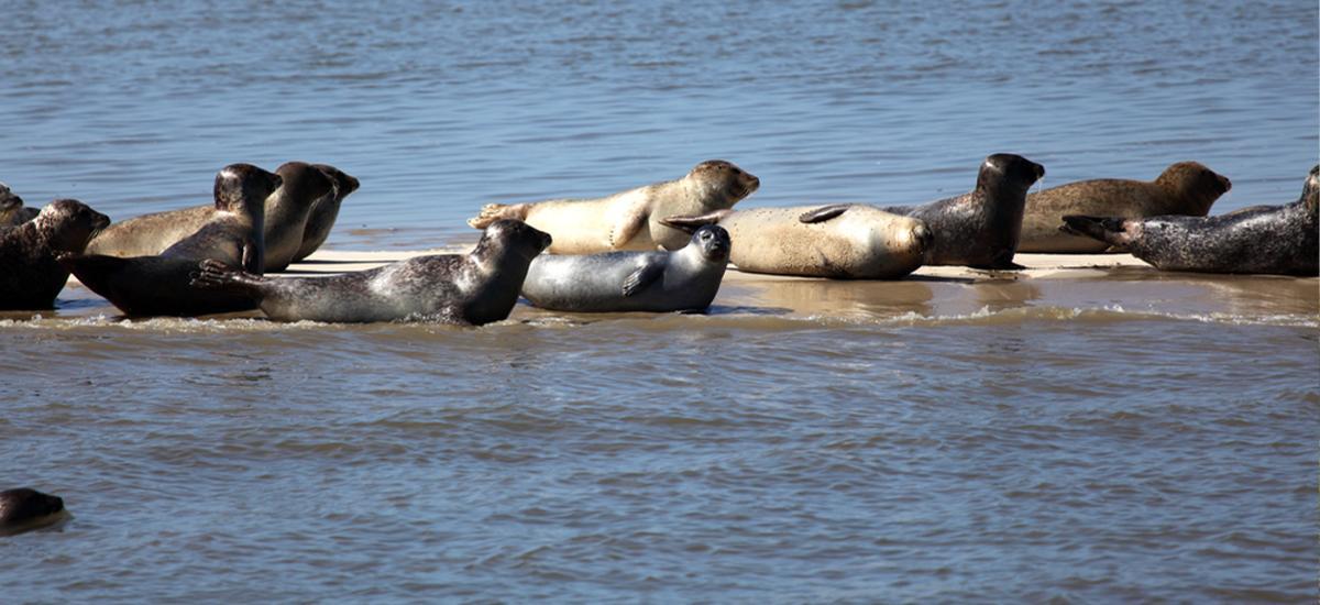 Robben auf Wangerooge in der Nordsee