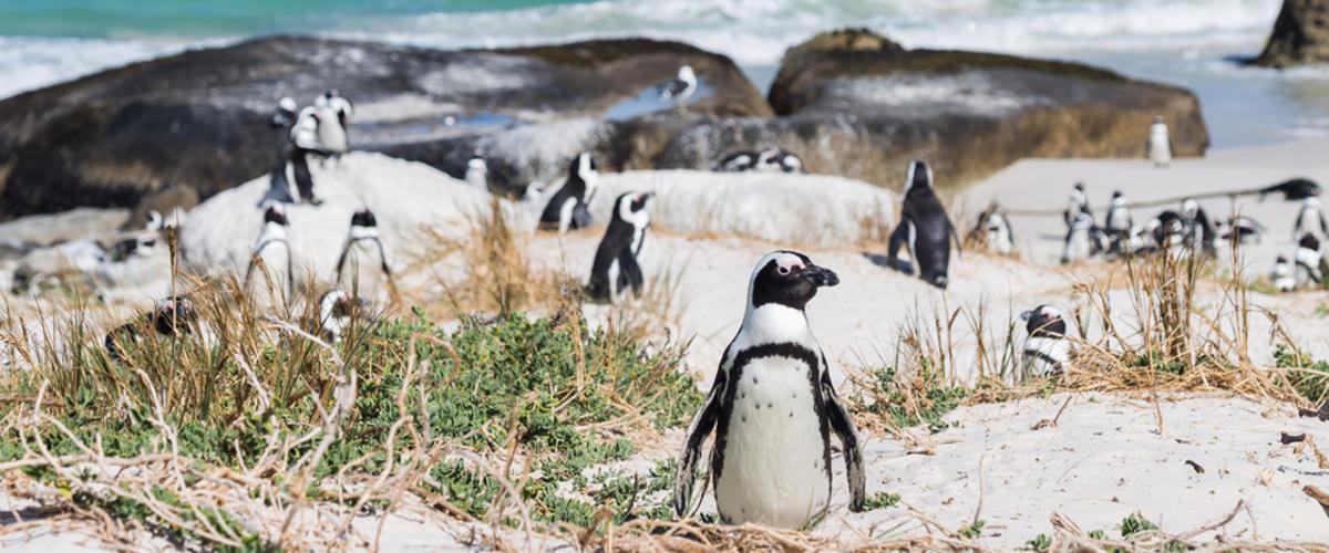 Pinguine in Kapstadt
