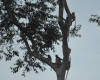 Langnasenaffen auf Borneo