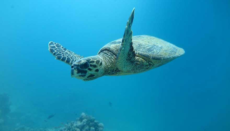 Unterwasserschildkröte-marsa-alam