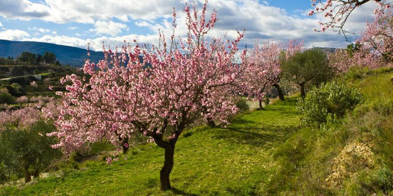 Mandelblüte an der Costa Blanca