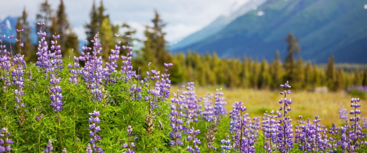 Landschaft Alaska mit lila Blumen