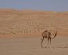 Kamel in der Wüste, Salalah