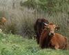 Kühe im Nationalpark