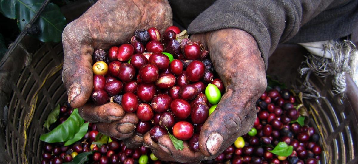 Die Kaffeeernte in Monteverde.