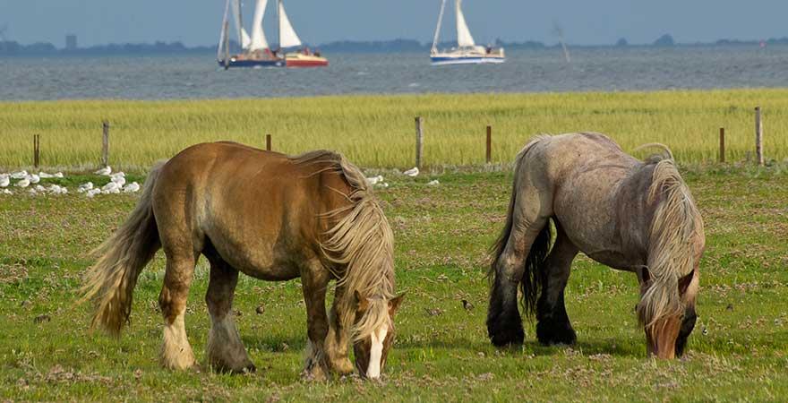 Pferde auf der Insel Juist