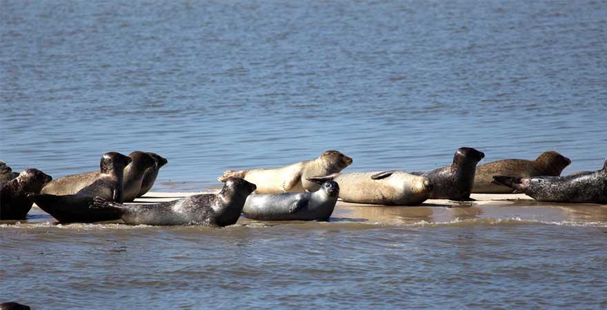 Robben auf einer Sandbank an der Nordsee
