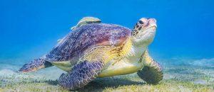 Schildkröte im Roten Meer bei Marsa Alam
