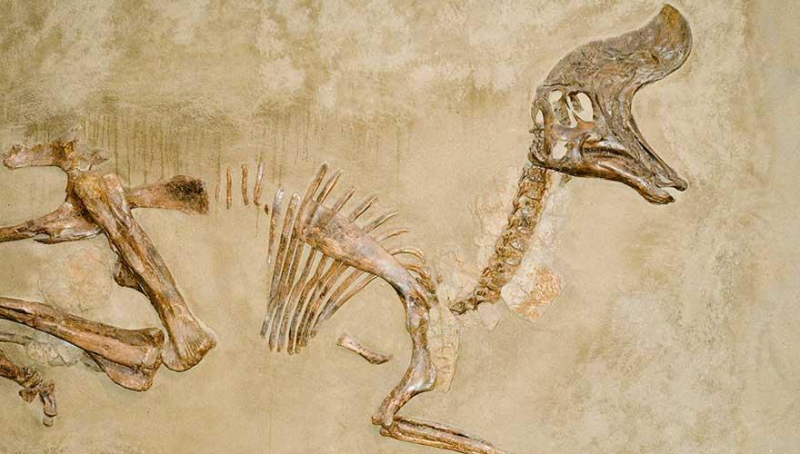 Fossilienfund Dinosaurier, Drumheller