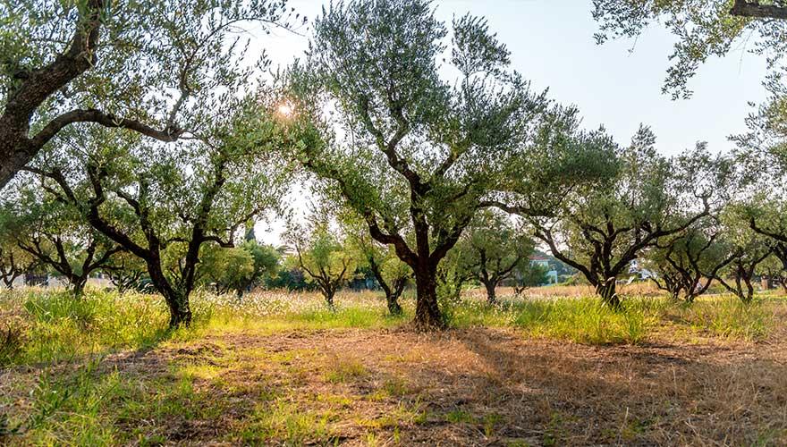 Olivenhain in Italien