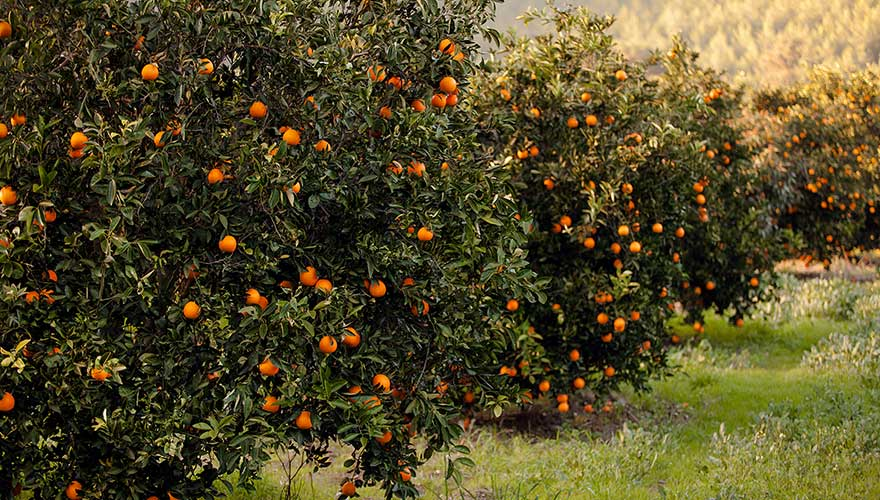 orangenbäume in der Türkei