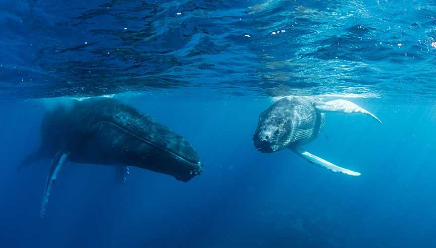 Wale Unterwasser bei Maui
