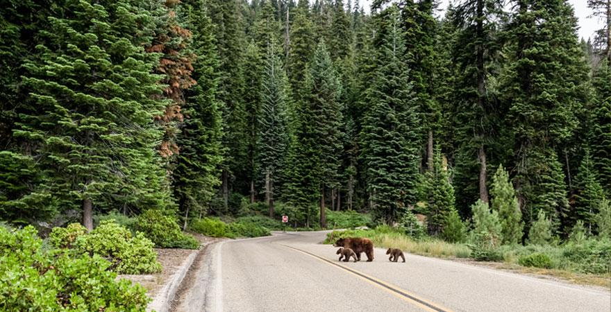 wilde Bären in kanada