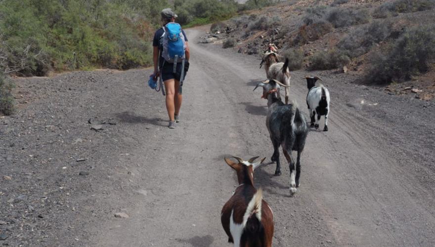 Ziegentrekking auf Fuerteventura