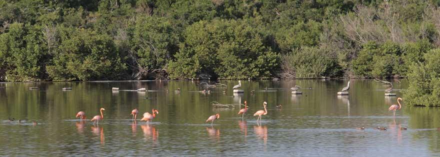 Flamingos auf dem Weg zum Labranda Cayo Santa Maria