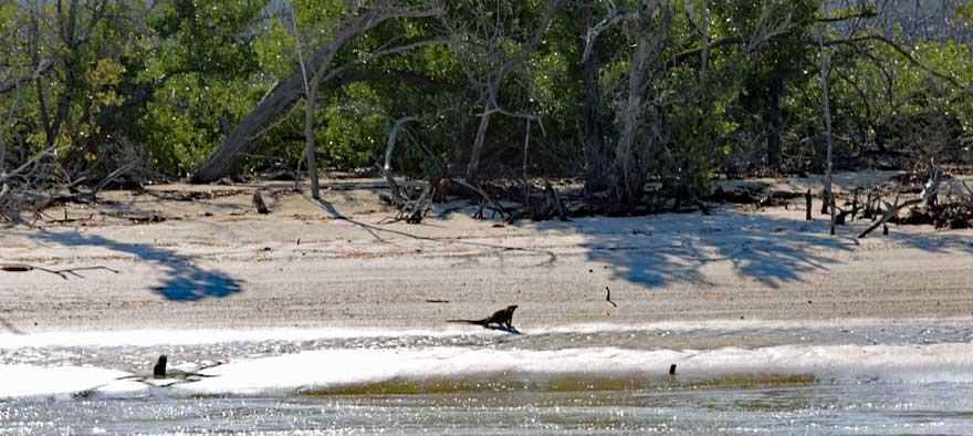 Leguan auf einer einsamen Insel