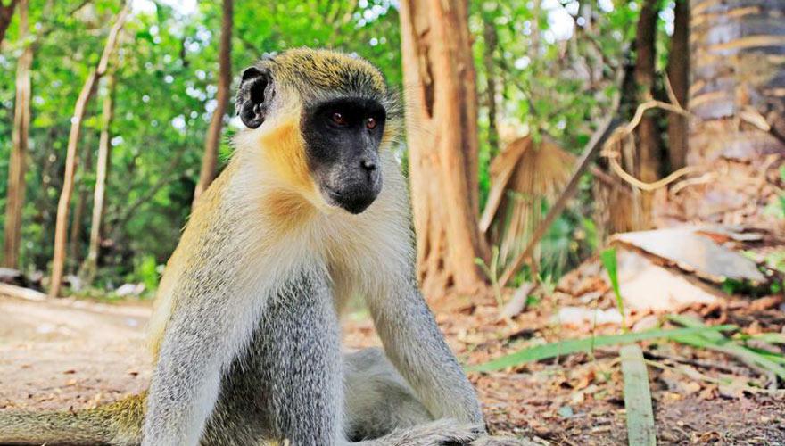 Affen in Bijilo Nationalpark in Gambia
