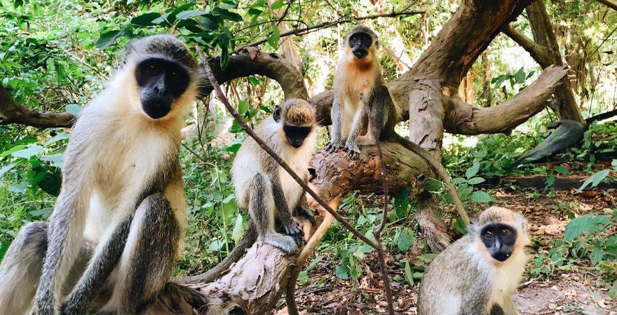 Affen im Bijilo National Park