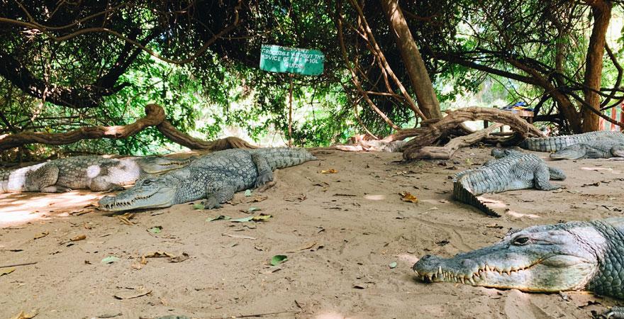 Crocodile Pool in Gambia