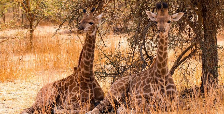 Giraffen im Senegal