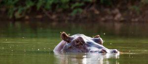 Nilpferd in Gambia