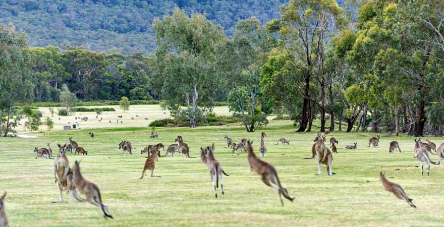 Kangurus in Australien