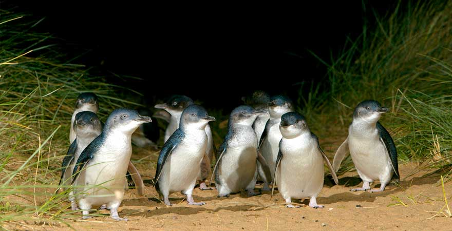 Pinguine in Australien